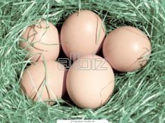 Инкубационное яйцо бройлера КОББ-500 (Венгрия,Германия)