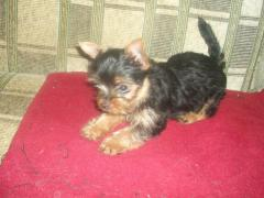 I offer girls and boys of a Yorkshire terrier,
