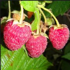 HARITEYDZh raspberry saplings, everbearing