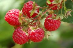 HARITEYDZh raspberry saplings everbearing