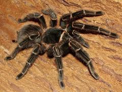 Brachypelmasmithi ( Мексиканский красноколенный паук)