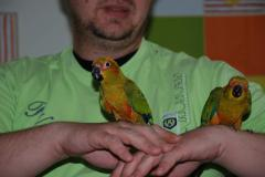Absolutely manual parrots - the best offer of