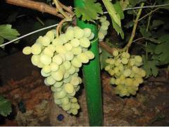 Саженцы винограда ранних сортов. Кеша/ Восторг