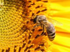 Пчелиные отводки, семьи