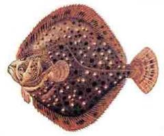 Flounder kalkan Black Sea