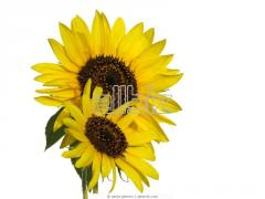 Cake technical sunflower