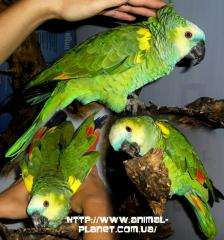 On sale elite parrots of Amazona