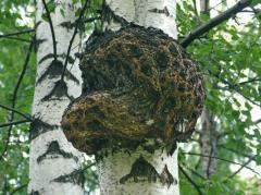 Чага (березовый гриб),1кг