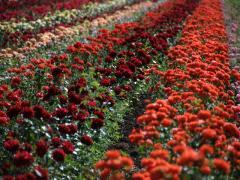 Saplings of roses of 70 grades