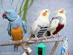 Protection of birds against a self-deplumation,