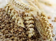 Grain forage