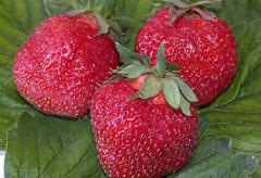 Strawberry, fresh strawberry, seedling