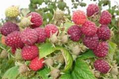 Perpetual raspberry, HARITEYDZh raspberry saplings