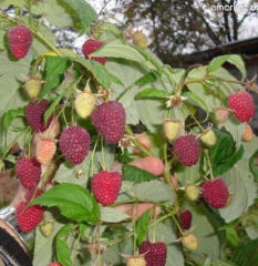 Raspberry saplings, everbearing raspberry of