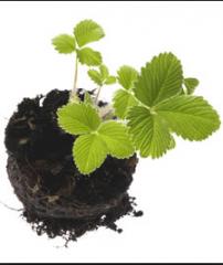 Seedling of wild strawberry, ALBION Frigo,