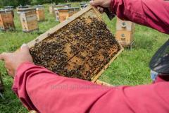 Пчеломатки и пчелопакеты карпатки