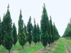 Oak krupnomer pyramidal