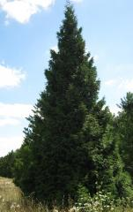 Oak pyramidal