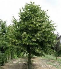 Big-leaf linden krupnomer