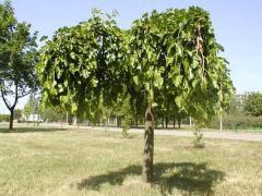 Mulberry plakuchy krupnomer