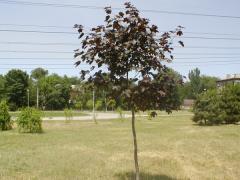 Maple of shvedler krupnomer