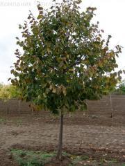 Big-leaf linden, linden krupnomer