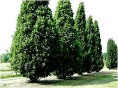 Oak pyramidal krupnomer