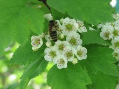 Hawthorn (melliferous herb)