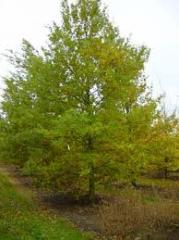 English oak (melliferous herb)