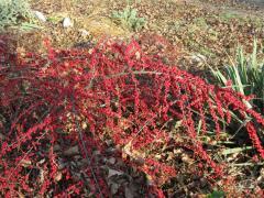 Cotoneaster (melliferous herb)