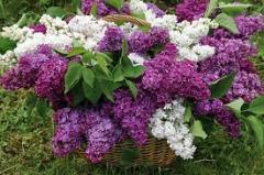 Lilac (melliferous herb)