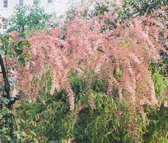 Tamarisk (melliferous herb)