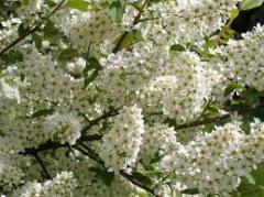 Saplings of bird cherry (melliferous herb)