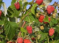 Saplings of everbearing raspberry of HARITEYDZh,