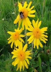 Flower of arnica mountain