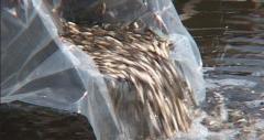 Материал рыбопосадочный:Личинка леща подрощенная,