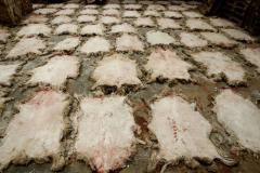 Skin our sheep company is the largest supplier of