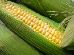 Кукуруза Яровец 243МВ (ФАО240), 13,0 т