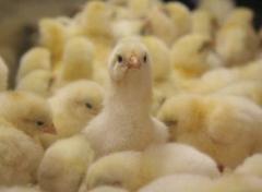 Бройлер цыплята подрощенные КОББ-500, по доступной