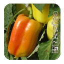 Семена перца сладкого сорт ранний Аден F1 Aden F1