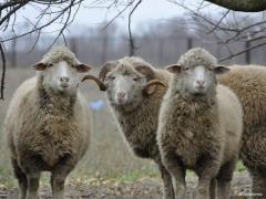 Breeding livestock: a ram, an ewe, it is bright,