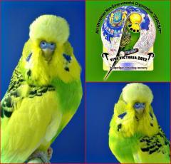 Волнистый выставочный попугайчик Чех.