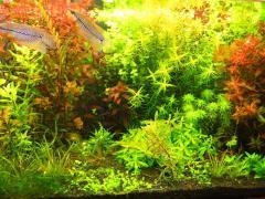 Aquarian plants