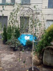 Birch plakuchy Yongi (Betula pendula Yongii) of