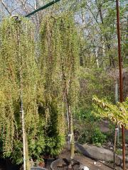 The plakuchy Europian larch of Repens bole of