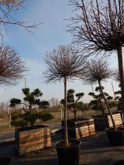 Maple ostrolisty Globozum (Acer platanoides