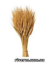 ОЗИМЫЕ ЗЕРНОВЫЕ КУЛЬТУРЫ озимая пшеница, озимые