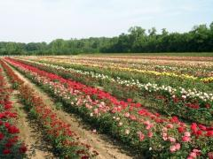 Saplings of roses
