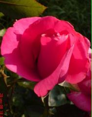 Розы розовые и лососевые