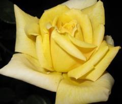 Розы с  желтым окрасом
